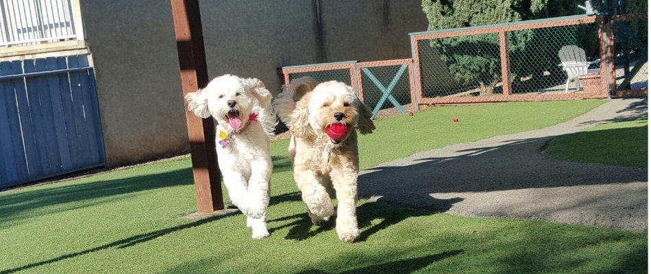 Two cockapoos playing fetch at Spring Creek Kennel & Cattery