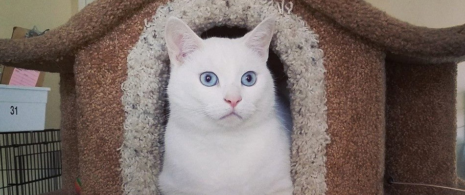 White cat sitting at Spring Creek Kennel & Cattery